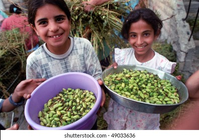 BETHLEHEM, PALESTINIAN TERRITORIES - MAY 26: Palestinian Arab girls help with the harvesting of hummus (chic peas or garbanzo beans), in the courtyard of their home May 26, 2002 in Bethlehem.