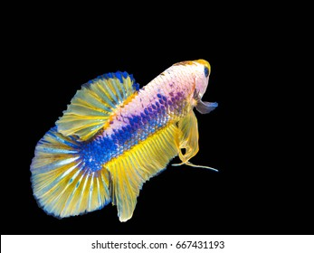 Betta blue and yellow tail fish or half moon Siamese fighting fish.