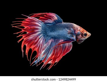 Betta dark blue body and red tail , Betta Siamese fighting fish isolated on black background