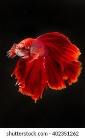 Betta Fish 4