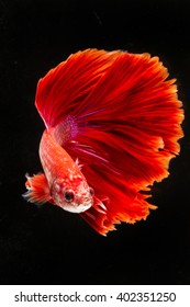 Betta Fish 6