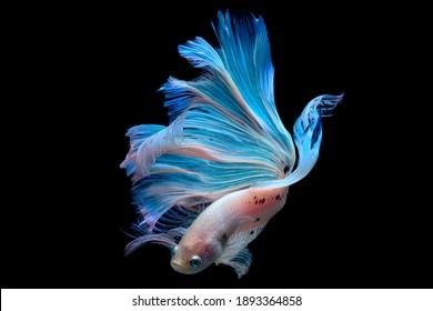 betta fish in aquarium with black background