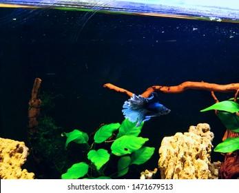 betta fish aquarium, natural aquarium