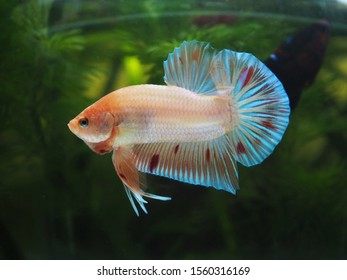 Betta Fish Armageddon in Bowl Aquarium