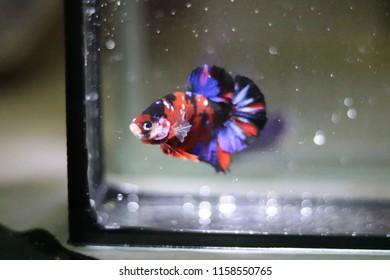 Betta fish beautiful underworld