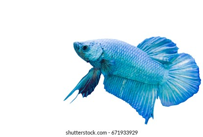 Betta fish, blue siamese fighting fish, isolated on white background