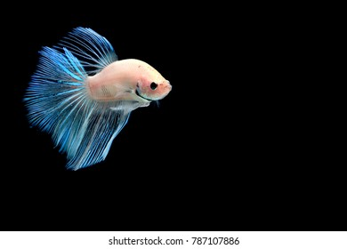 Betta fish brown and white