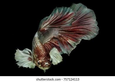 betta fish is a fighter fish