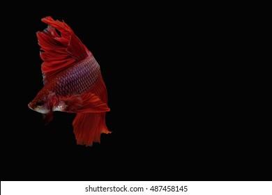 betta fish / fighting fish on black backgrounds