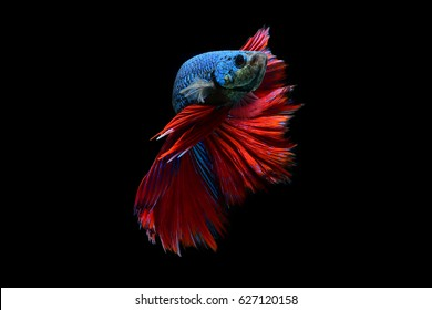 Betta fish, fighting fish, The swimming style of the fish on a black background.