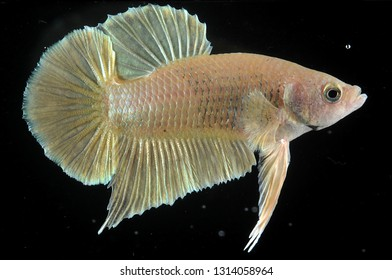 betta fish gold color