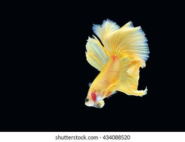 Betta fish (half moon) or Siamese fighting fish on black background