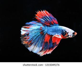 Betta fish halfmoon, blue body, white and orange tail, black background