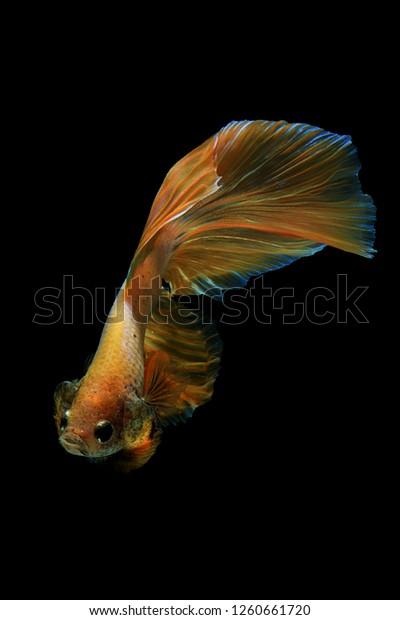 Terbaru 14+ Foto Wallpaper Ikan Cupang - Richa Wallpaper
