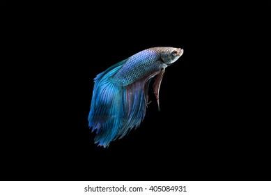 Betta fish isolated on black background