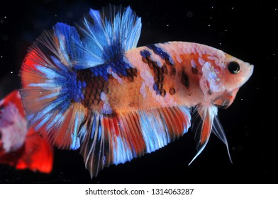 betta fish koi color