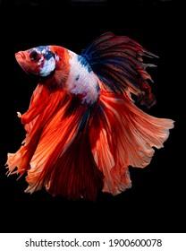 Betta Fish - Multi Color Halfmoon