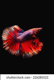 BETTA FISH on black background