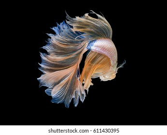 1000 Betta Fish Pictures Royalty Free Images Stock Photos And