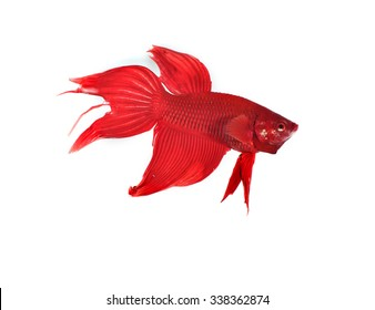 betta fish on white background