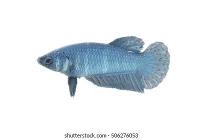 betta fish on a white background,Thailand