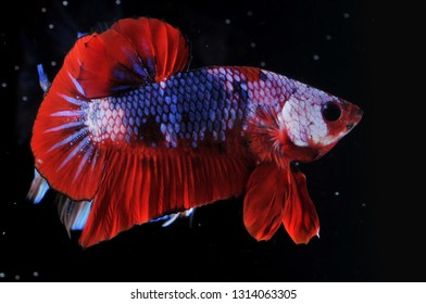 betta fish plakat fancy color