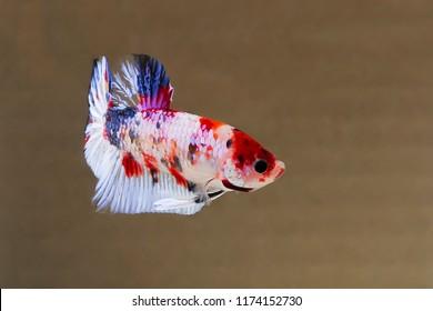 betta fish plakat koi multicolor