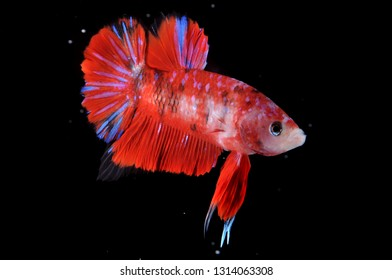 betta fish red koi