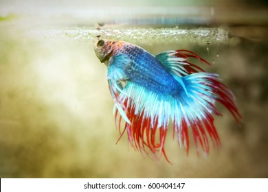 Betta fish or siamese fighting fish action show in aquarium tank, betta fish feeding baby in the bubble. Fighting fish of Thailand. Selective focus and toned image. Free copy space.