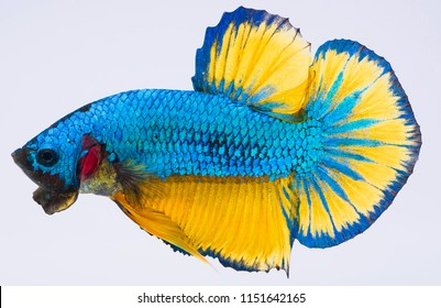 betta fish, siamese fighting fish, Capture moving of fish, Betta splendens