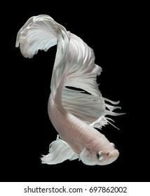 "Betta fish, siamese fighting fish ""half moon"" isolated on black background beautiful movement macro photo"