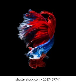 Betta fish, siamese fighting fish (Halfmoon  )isolated on black background