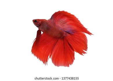 Betta fish, siamese fighting fish (Halfmoon betta )isolated on white background