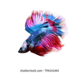 Betta fish, siamese fighting fish (Halfmoon betta )isolated on white background