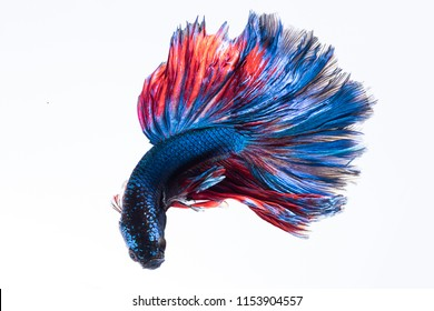 Betta fish, siamese fighting fish isolated on white background.