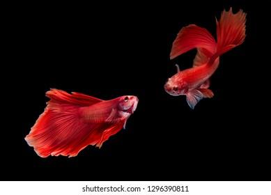Betta fish, siamese fighting fish, isolated on black background betta