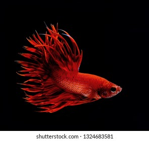 Betta fish, Siamese fighting fish isolated over black background, aquatic pet