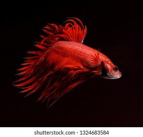 Betta fish, Siamese fighting fish isolated over black background, aquatic pet