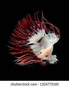 betta fish, siamese fighting fish isolated over black background