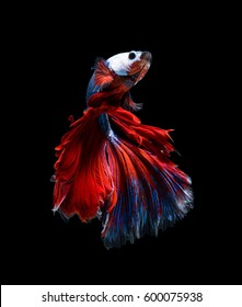 Betta fish, siamese fighting fish isolated on black background with clipping path