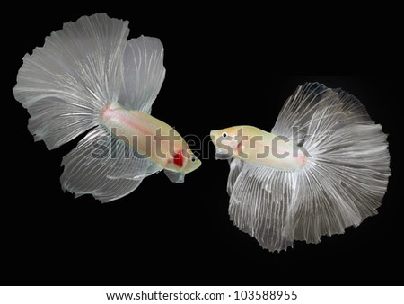 Betta  fish, Siamese fighting fish isolated on black background