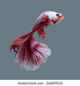 betta fish, siamese fighting fish on white background