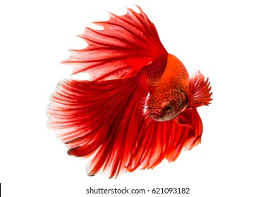 Betta fish or Siamese fighting fish on white background, Thai fighting fish