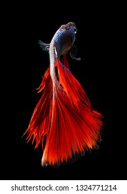 betta fish, siamese fighting fish over black background