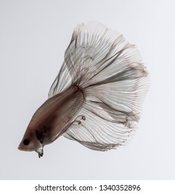 betta fish, Siamese fighting fish over white background