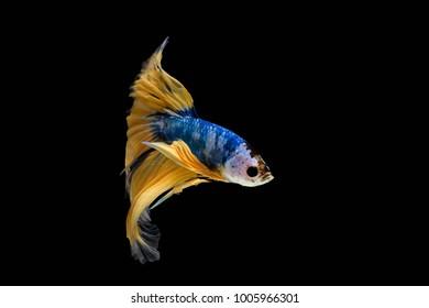 Betta fish, siamese fighting fish, betta splendens (Halfmoon fancy Yellow betta ),isolated on black background.