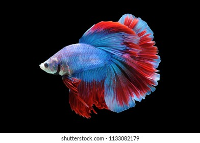 Betta fish, siamese fighting fish, betta splendens isolated on black background, fish on black background,