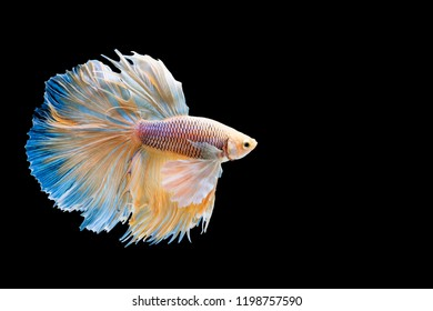Betta fish, siamese fighting fish betta splendens (Halfmoon  betta ),isolated on black background.