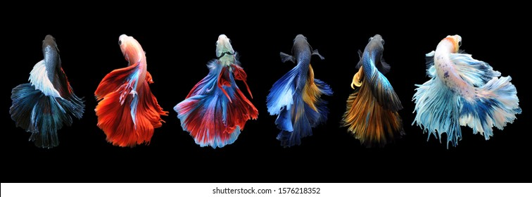 Betta fish, siamese fighting fish, betta splendens isolated on black background, 				fish on black background, Multi color Siamese fighting fish,