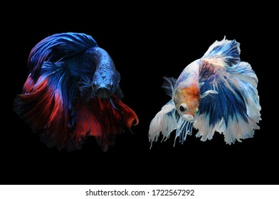 Bettfisch, siamesischer Kampffisch, Bettsplendens einzeln auf schwarzem Hintergrund, Fisch auf schwarzem Hintergrund, mehrfarbiger siamesischer Kampffisch, Action, Aquarium, aquatische, aggressive, Farbe, Betta, Gleichheit